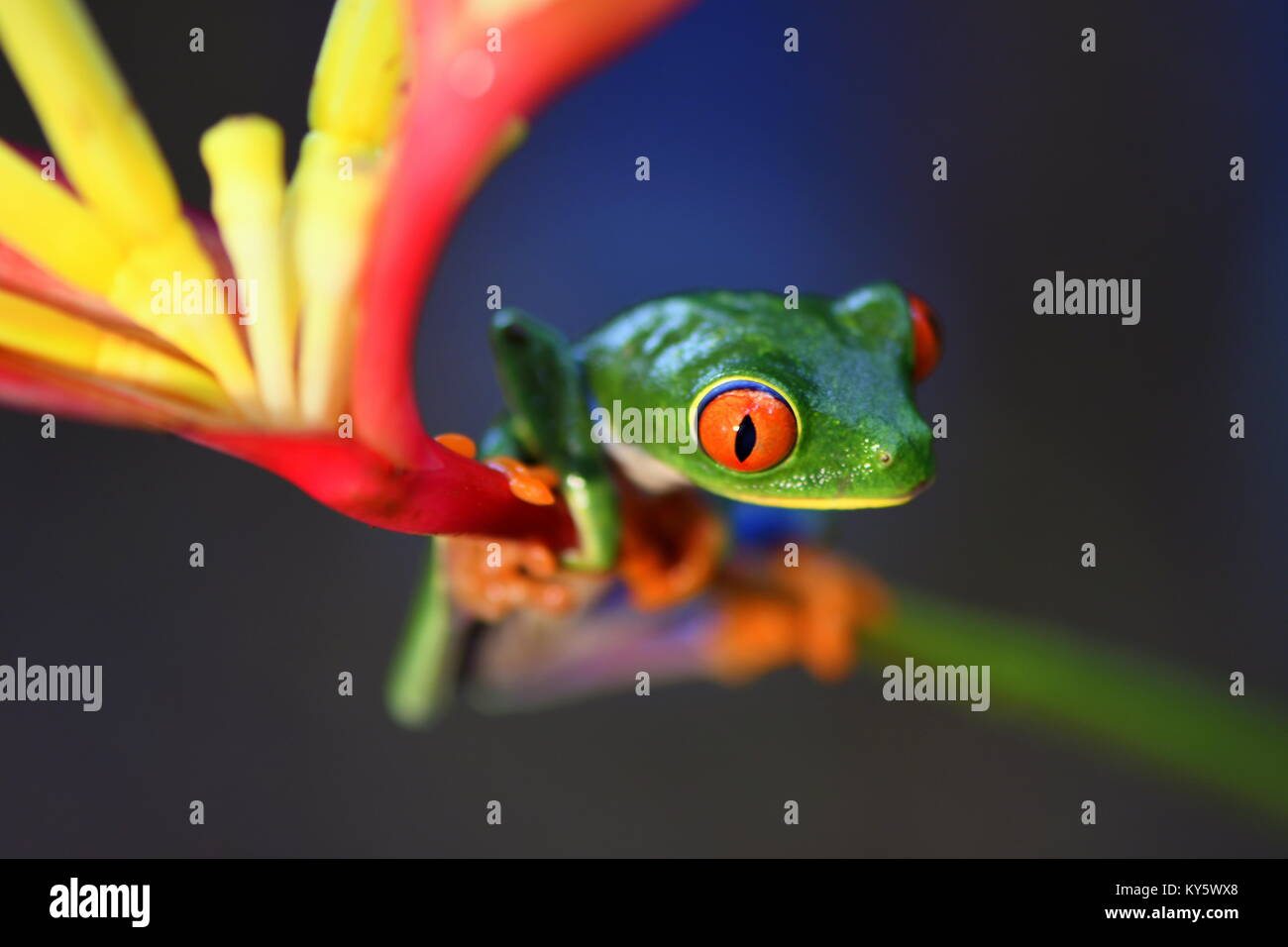 Red-eyed tree frog (Agalychnis callidryas) in Costa Rica lowland jungle - Stock Image