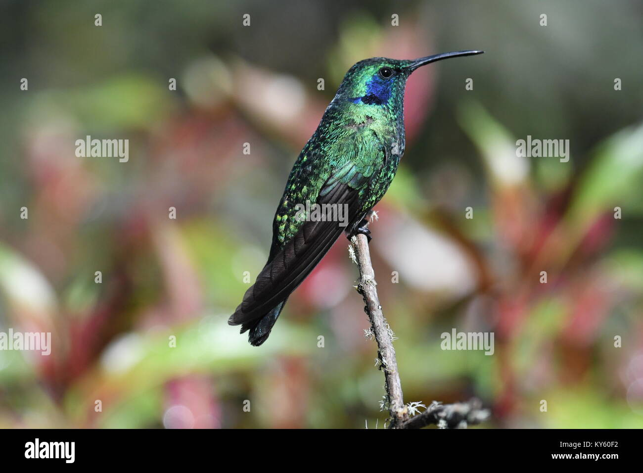 Green violet-ear hummingbird (Colibri thalassinus) in Costa Rica Stock Photo