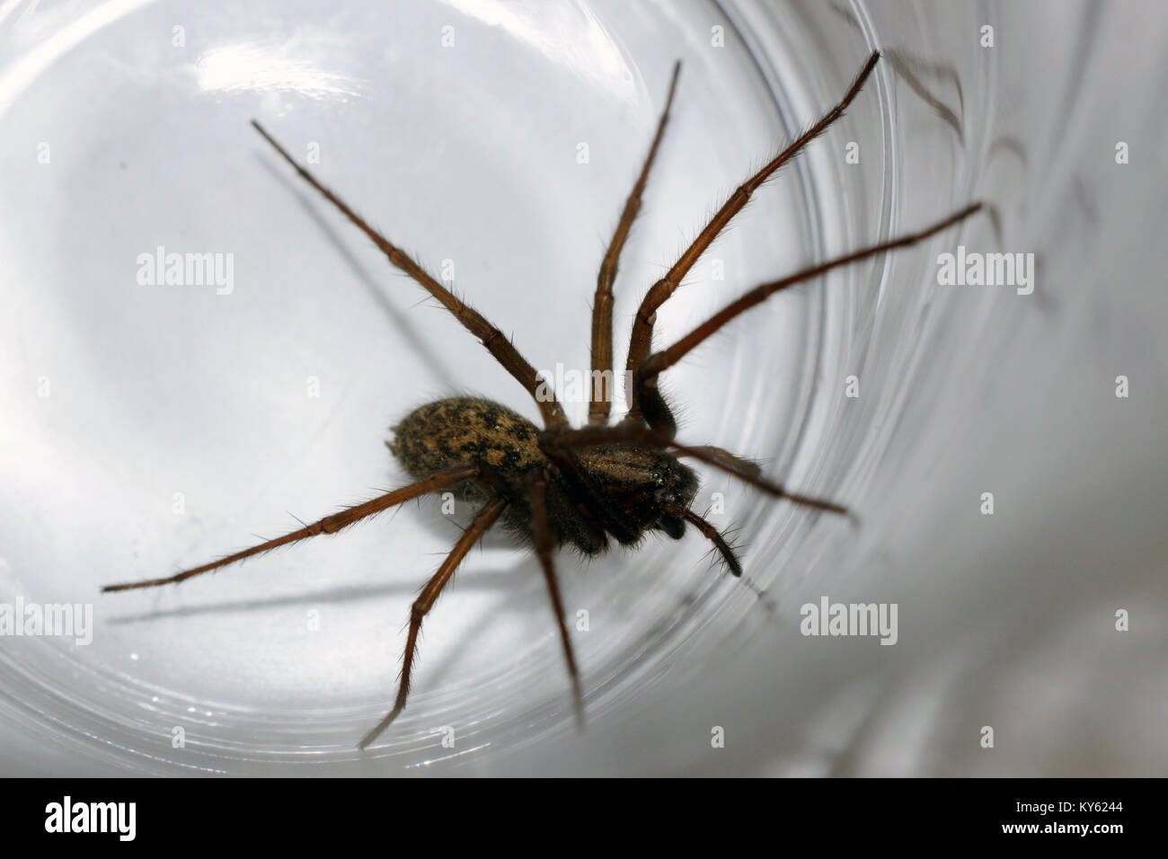 Close-up of a giant house spider (Eratigena atrica, formerly Tegenaria atrica) trapped in a glass tumbler - Stock Image