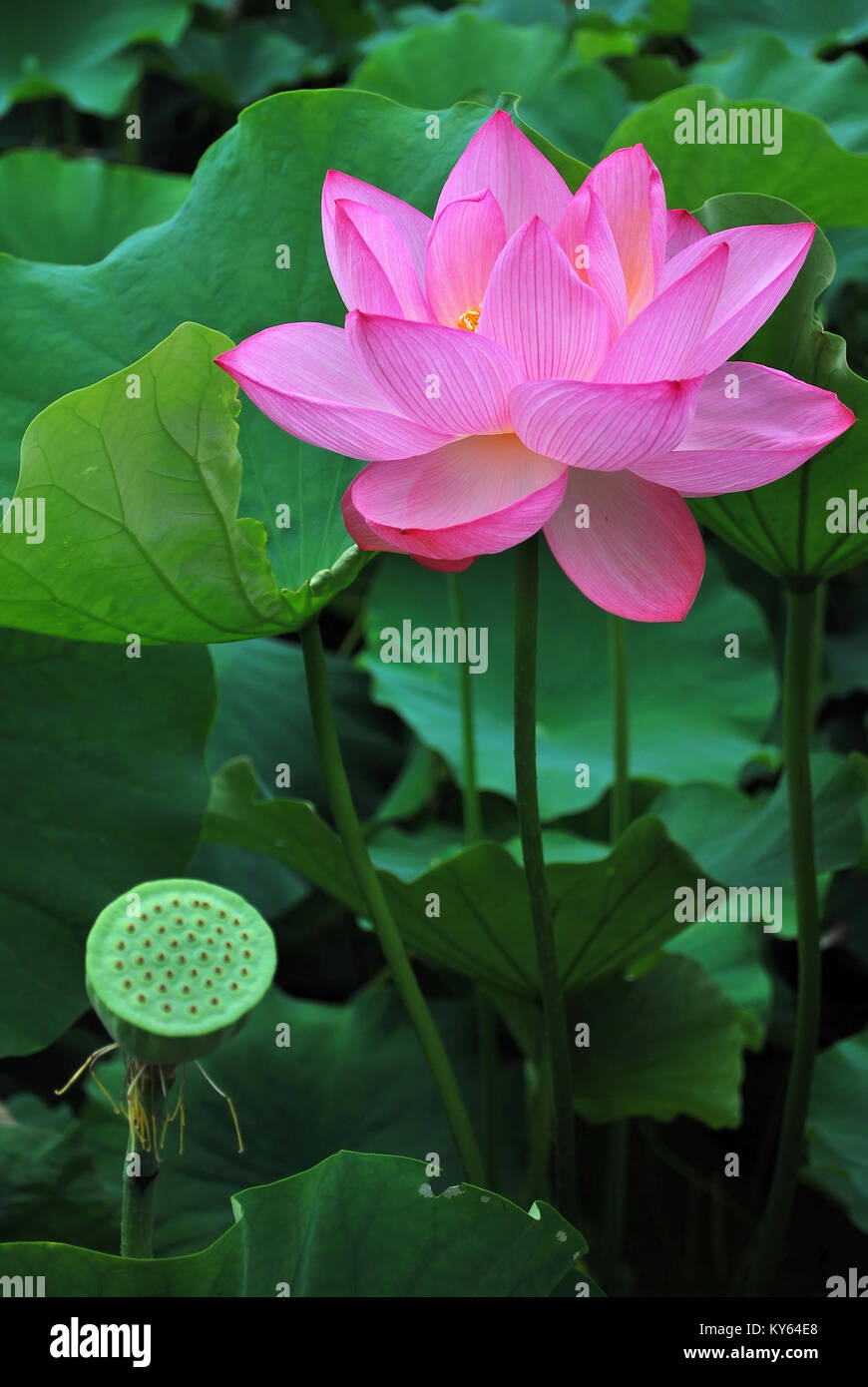 Flower Plant Lotus Buddhist Purity Stock Photos Flower Plant Lotus