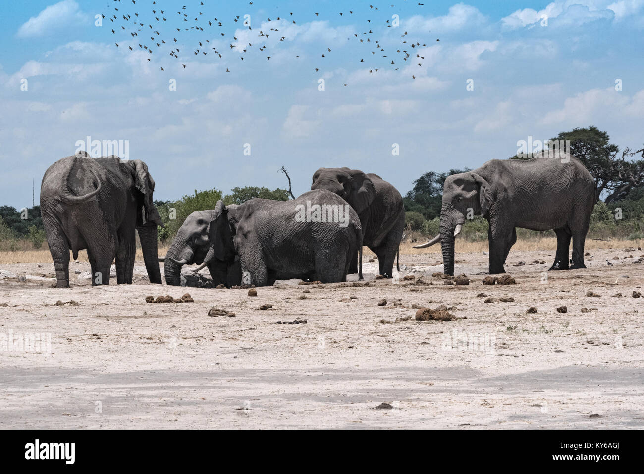 Elephant group at a waterhole in Chope National Park in Botswana Stock Photo