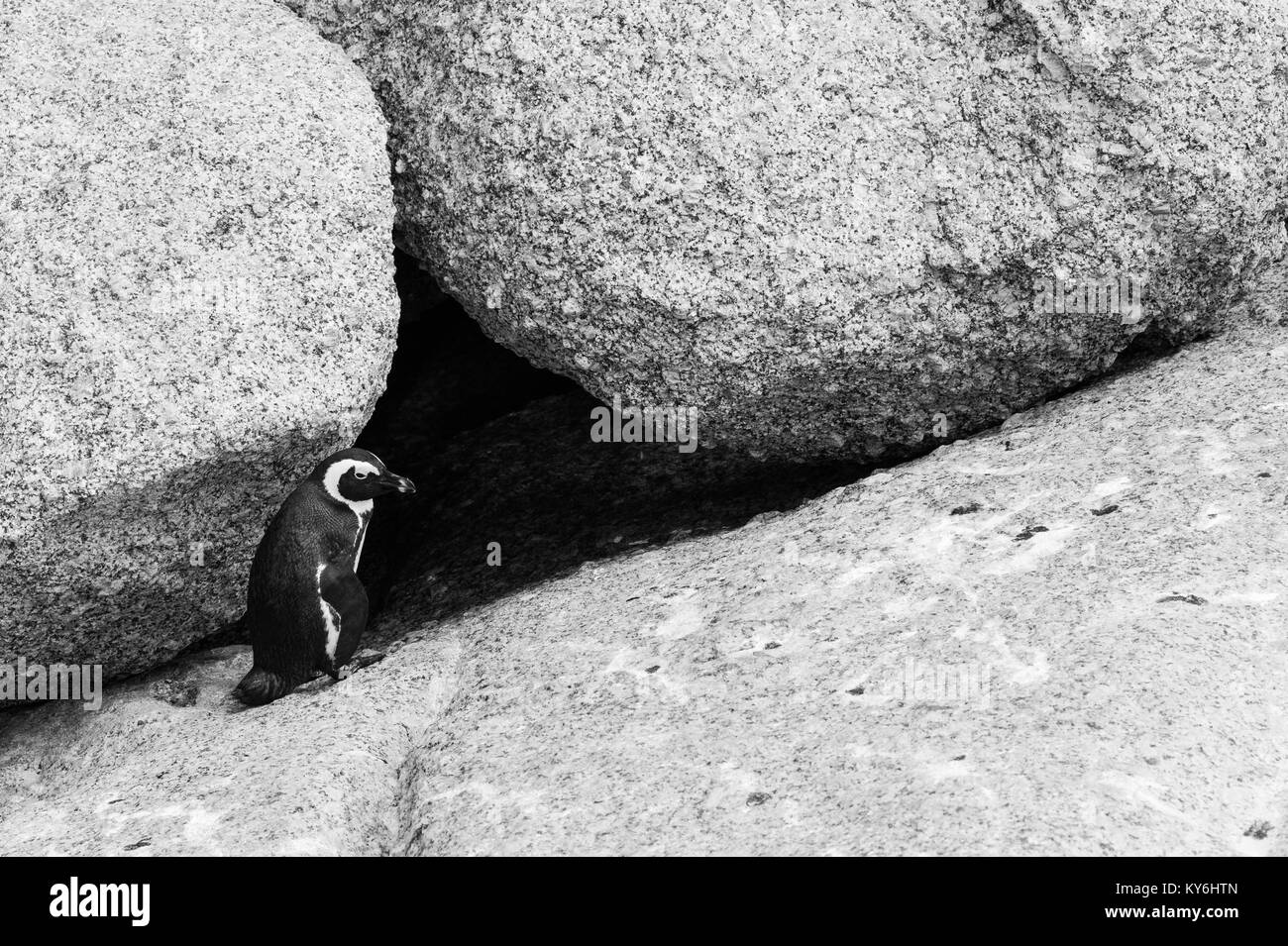 African Penguin, Spheniscus demersus, at Boulders Beach, Table Mountain National Park, Cape Town, South Africa - Stock Image