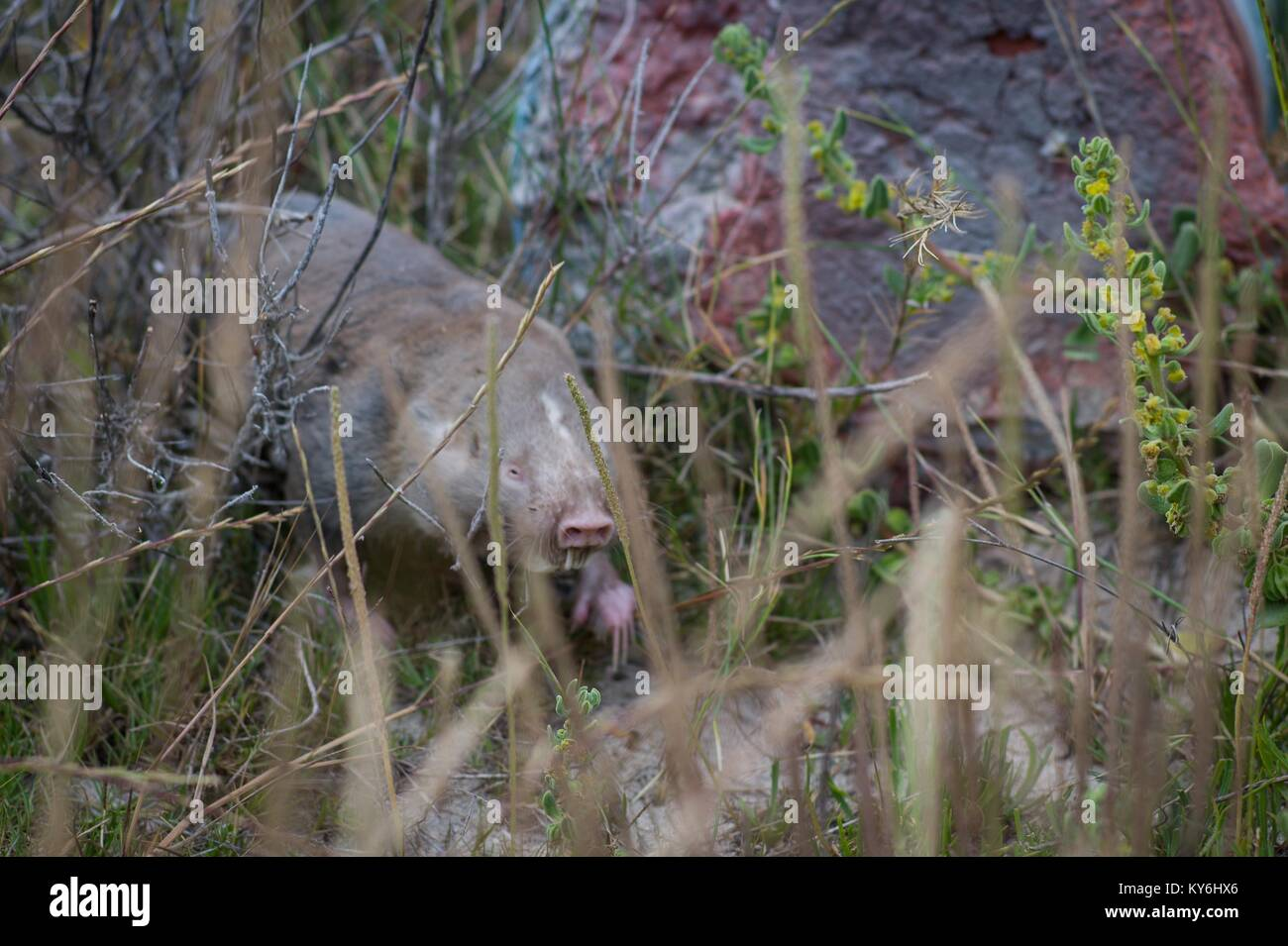 A Cape Dune Mole Rat makes a rare appearance above ground in Struisbay, Western Cape, South Africa - Stock Image