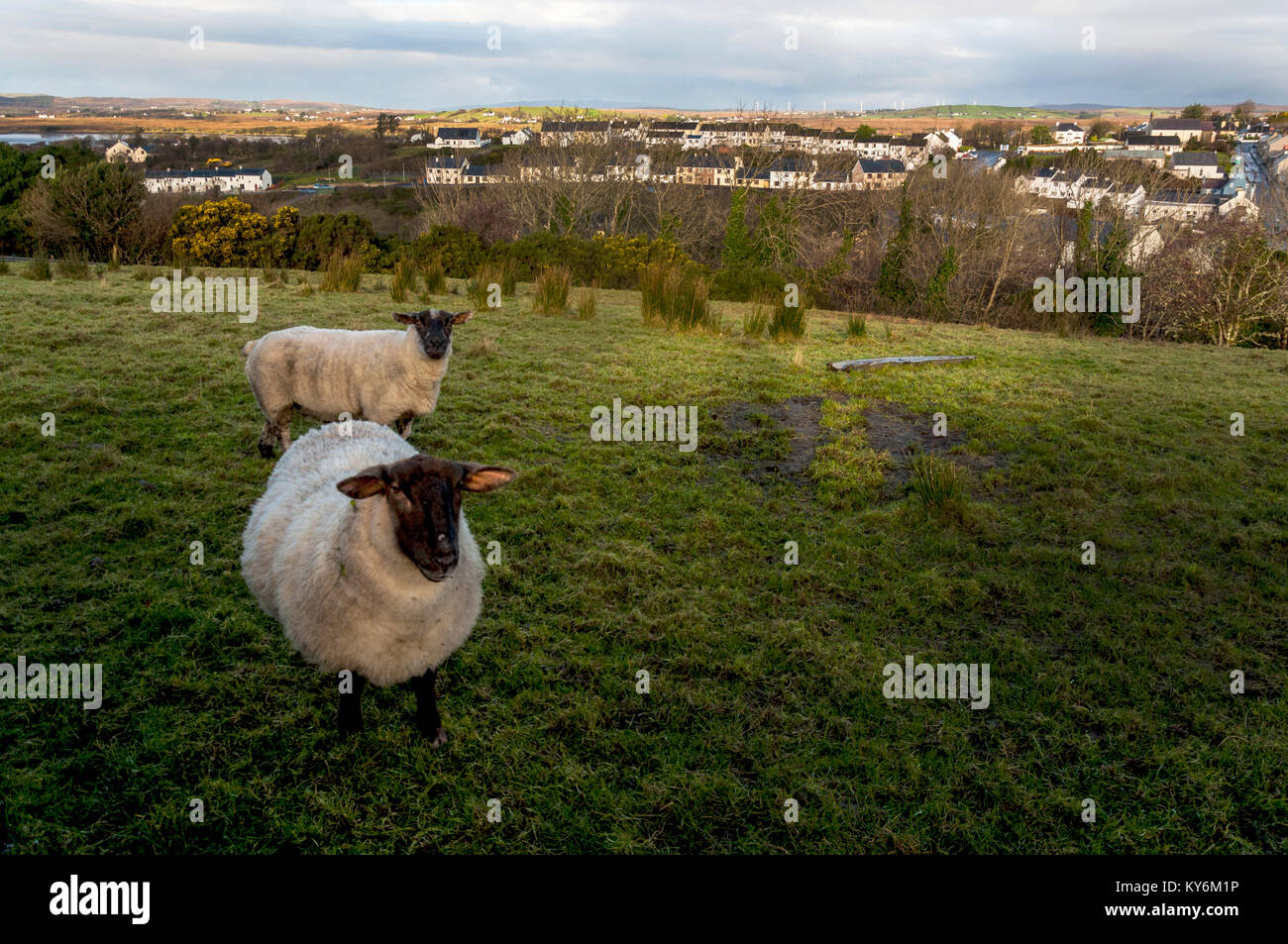 Sheep on a hillside above the village of Ardara, County Donegal, Ireland - Stock Image