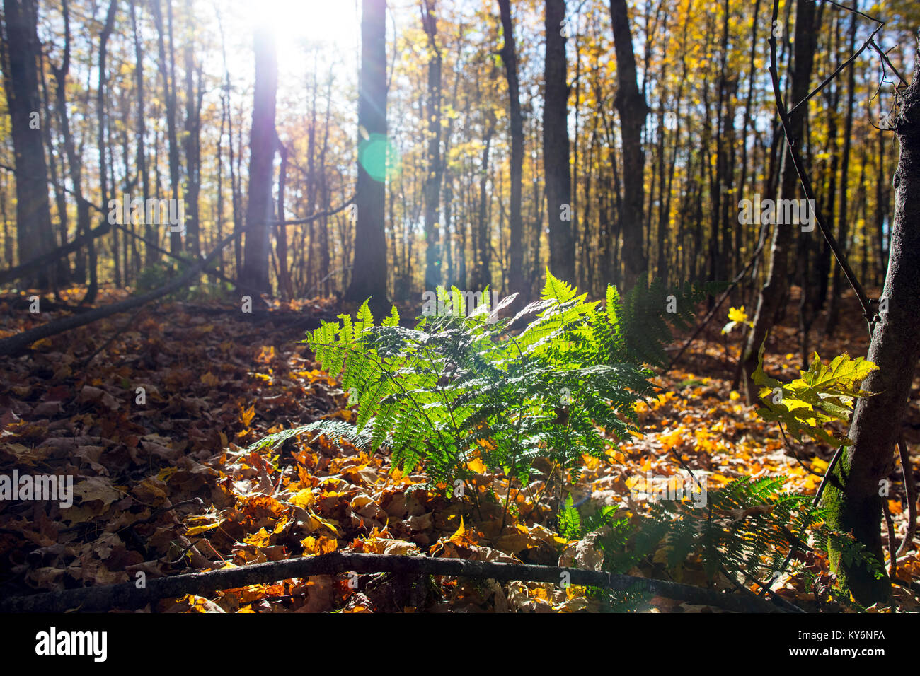 MAYNOOTH, ONTARIO, CANADA - October 20, 2017: The sun illuminates a fern on a fall forest floor. - Stock Image