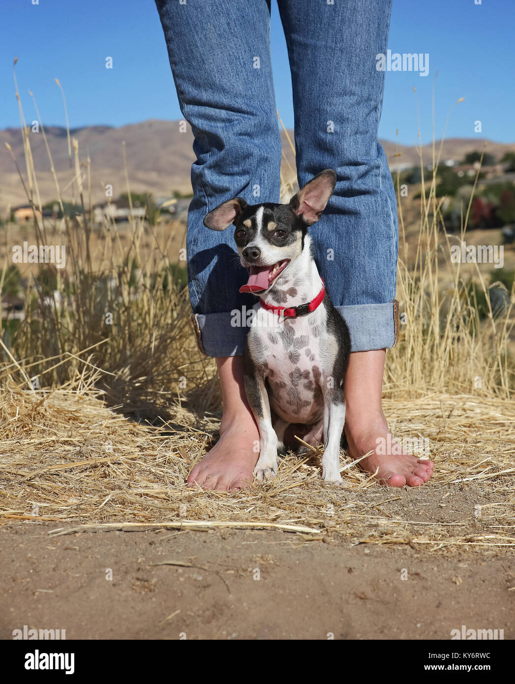 cute chihuahua rat terrier mix sitting with his barefoot owner on a dirt path above a city on a hot summer day - Stock Image