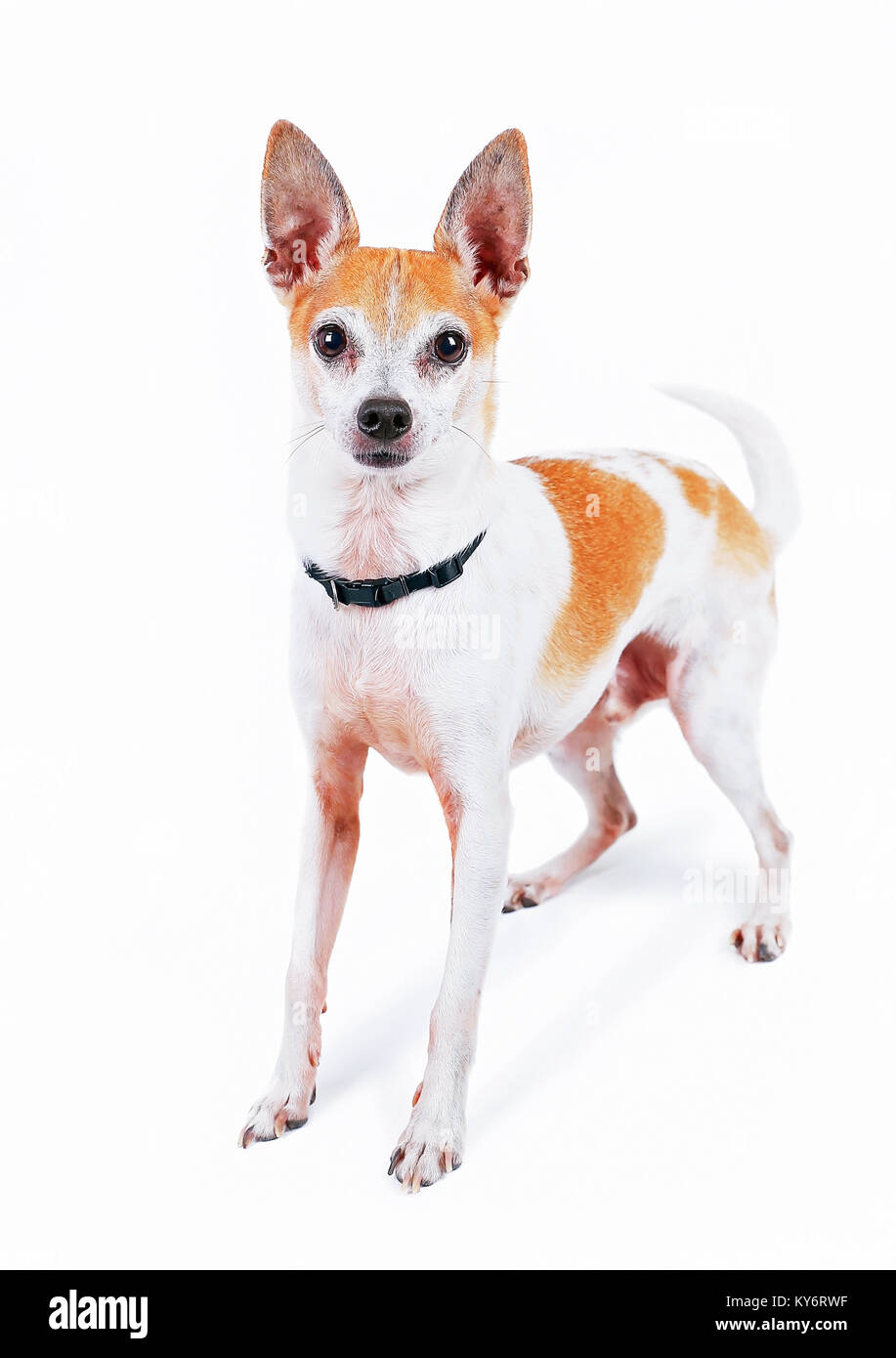 cute fox or rat terrier chihuahua mix in a studio shot on an isolated white background - Stock Image
