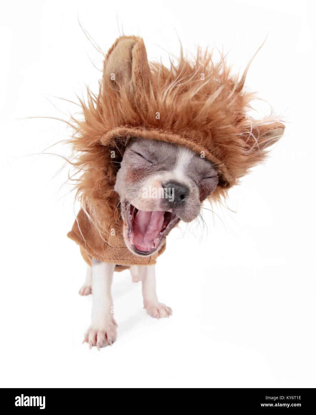 photo of a cute french bulldog puppy in a lion costume yawning or barking studio shot on an isolated white background - Stock Image