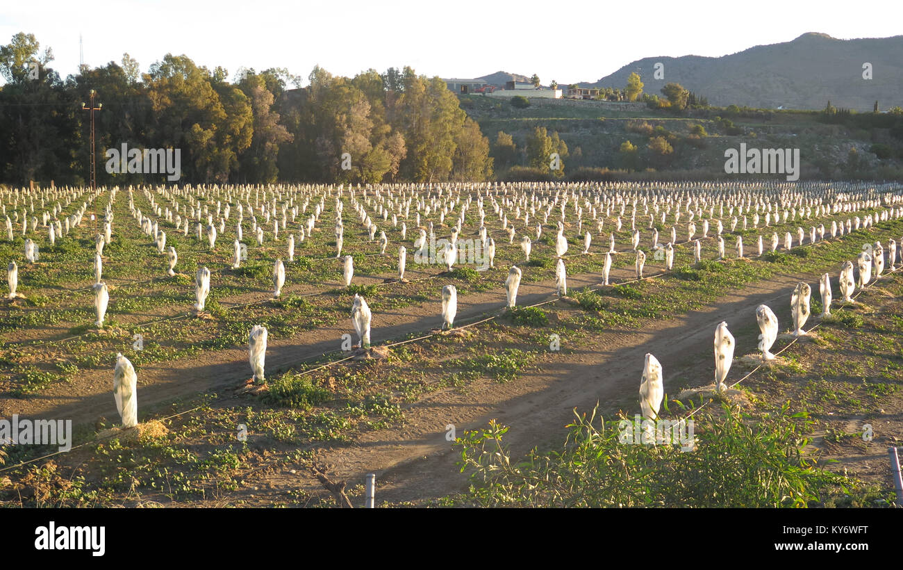 Unknown species of Small young Fruit trees protected against frost in Andalusia region of Spain - Stock Image
