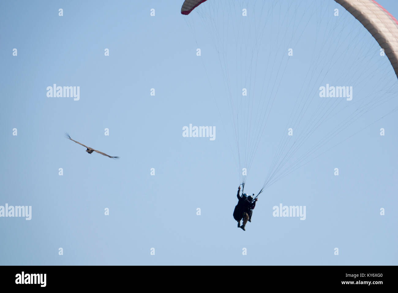 Tandem paragliding next to Egyptian Vulture above Pokhara, Nepal - Stock Image