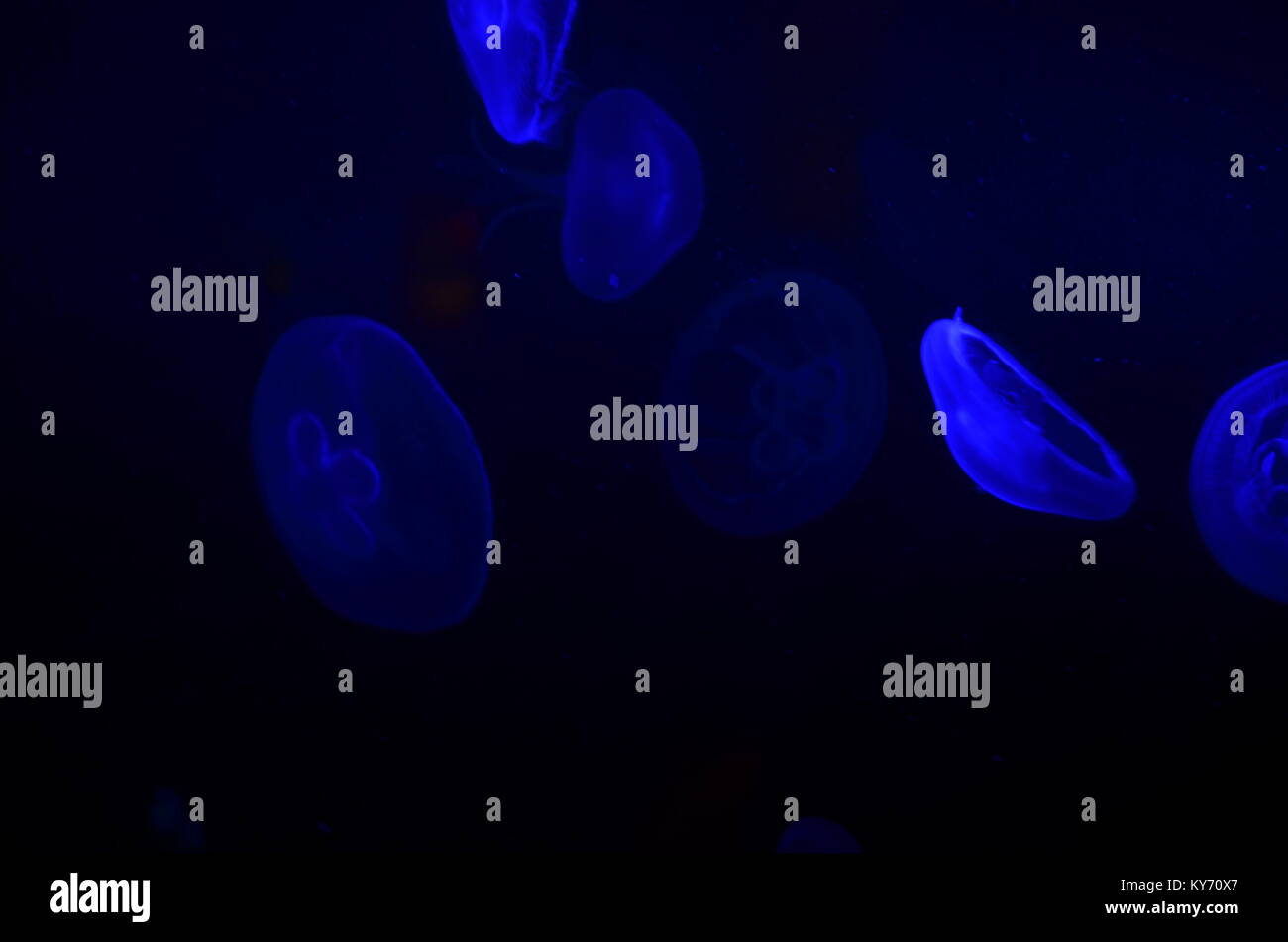Jellyfish under water looking blue by the light - Stock Image