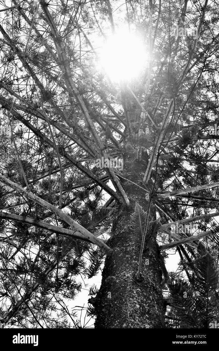 Rays of sunshine go through the foliage of a norfolk island pine tree Araucaria heterophylla, Sunshine coast, Queensland, - Stock Image