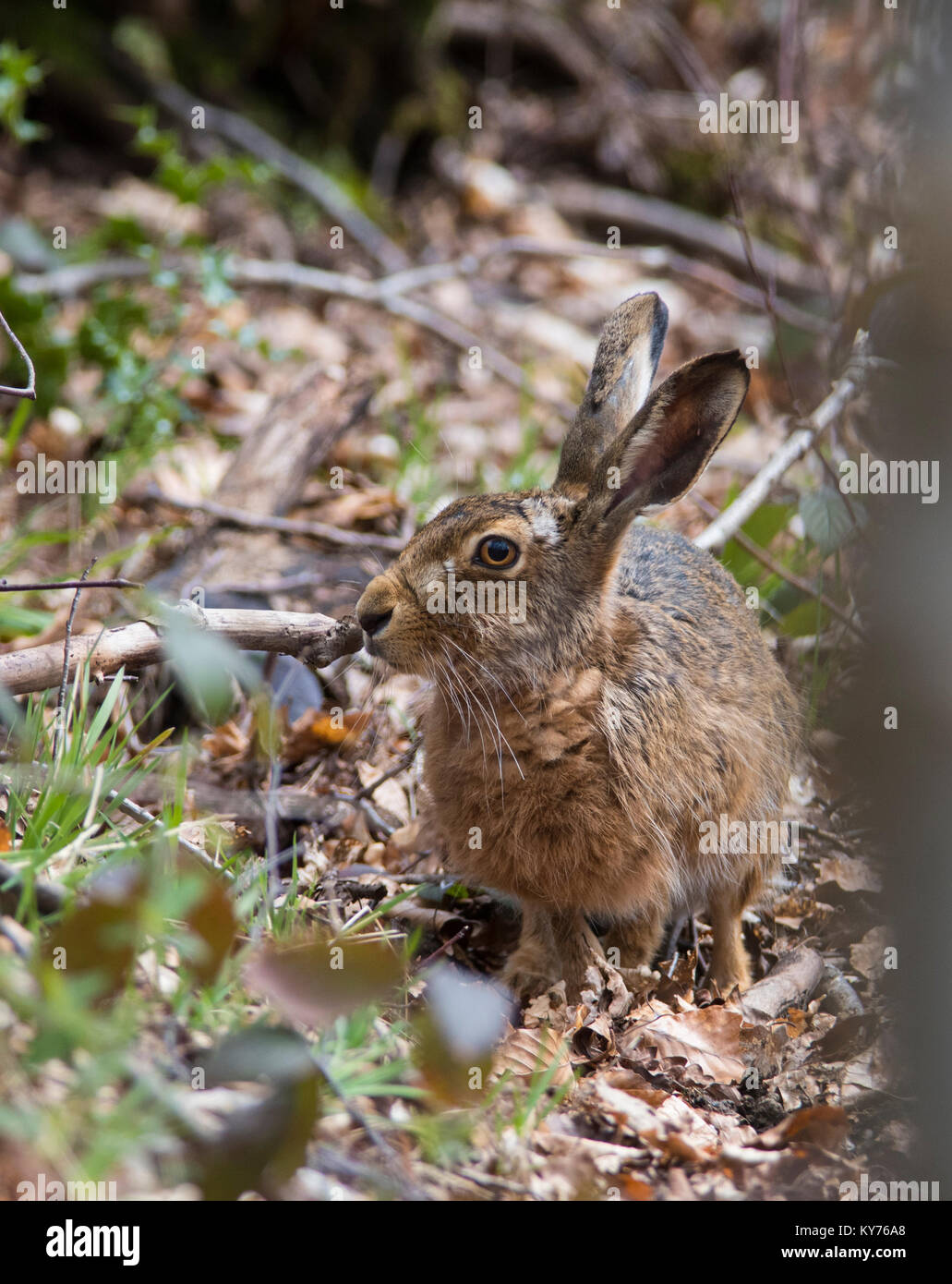 Brown/Europan Hare Lepus europaeus in a northern oak woodland in the peak district. - Stock Image