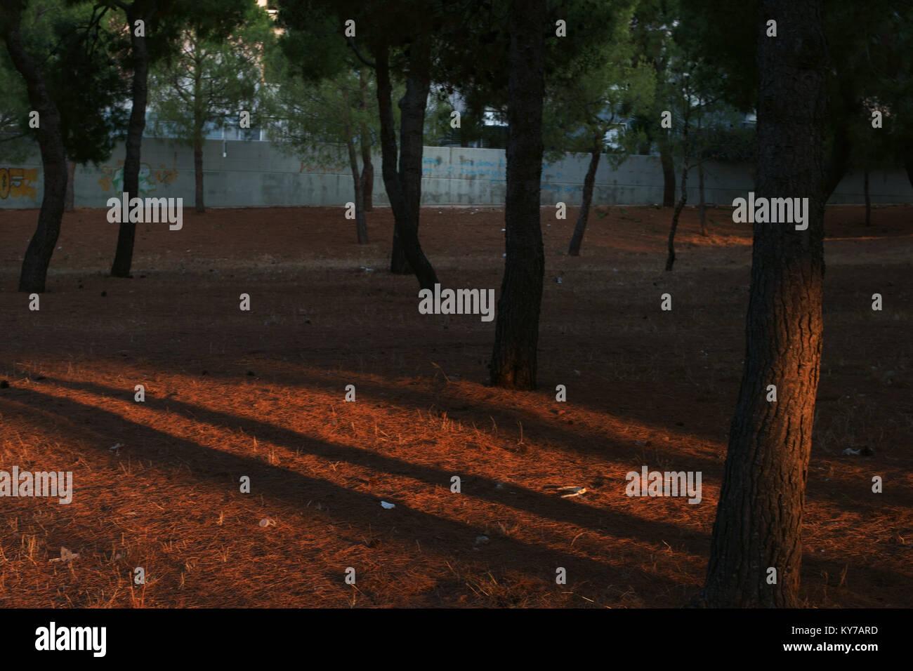 Pine grove in monopoli, apulia, Italy - Stock Image
