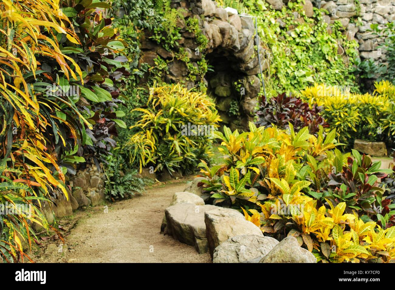 Colorful Croton plants in the garden in winter Stock Photo