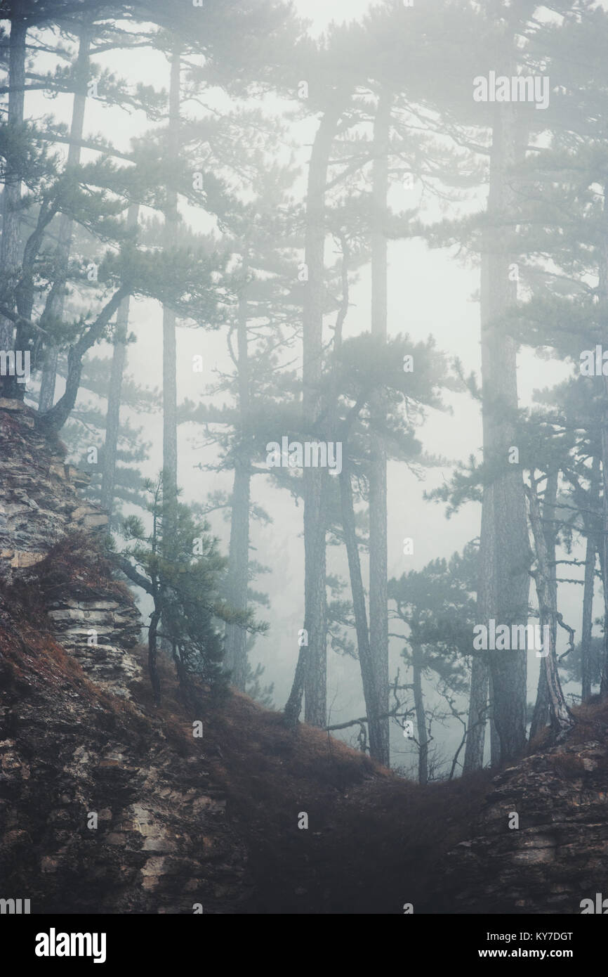 Foggy Coniferous Forest Landscape misty trees background Travel serene scenic view - Stock Image