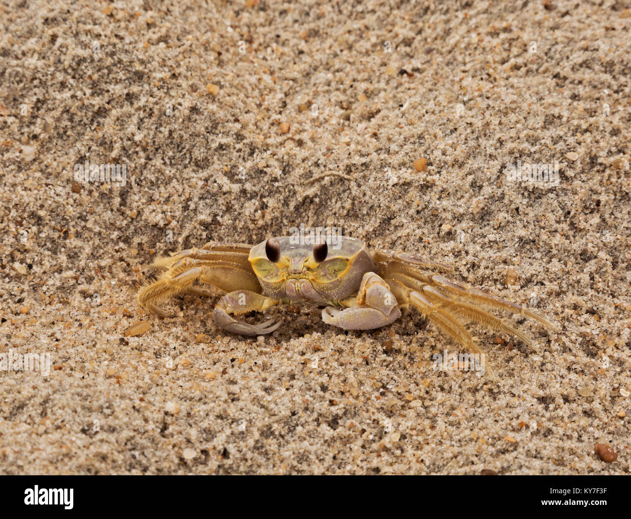 NC01272-00...NORTH CAROLINA - A ghost crab on an beach along the Atlantic Ocean on the Outer Banks. Stock Photo