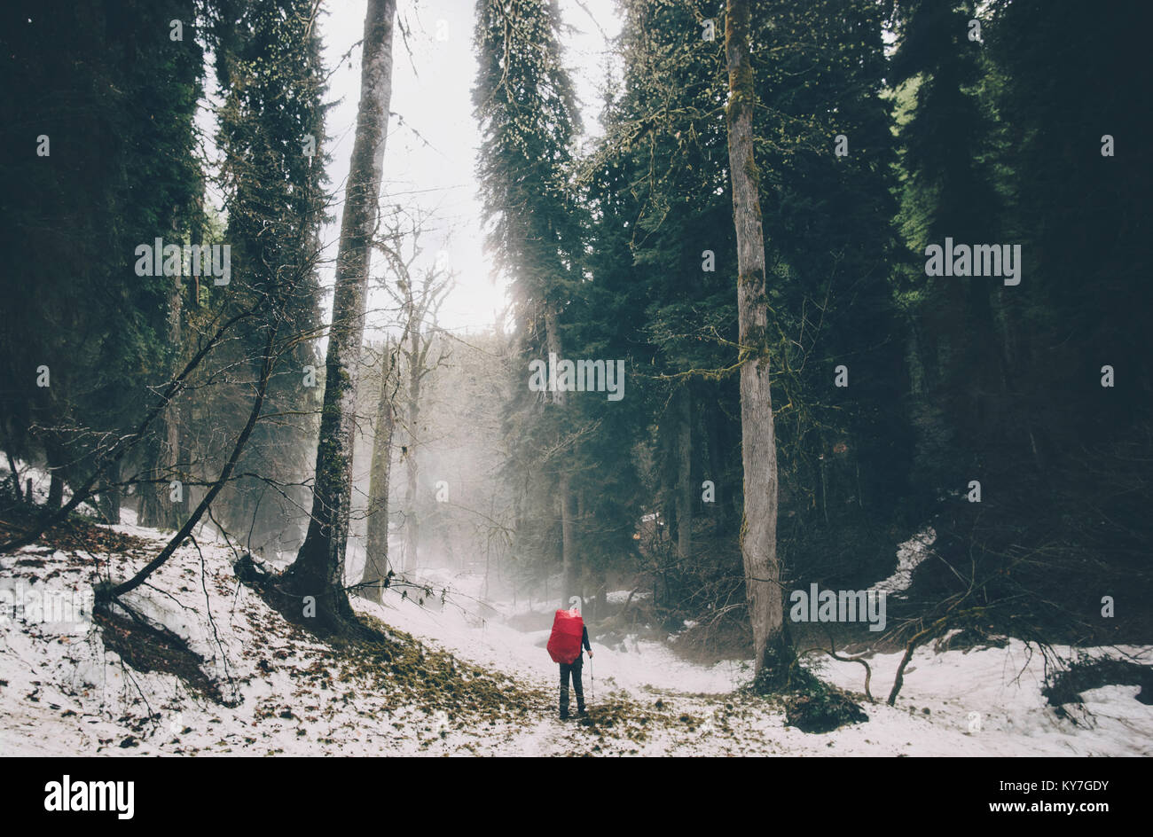Traveler walking alone at foggy coniferous forest - Stock Image