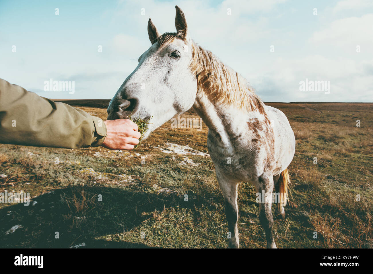 Man hand feeding white horse Lifestyle animal and people friendship Travel concept - Stock Image