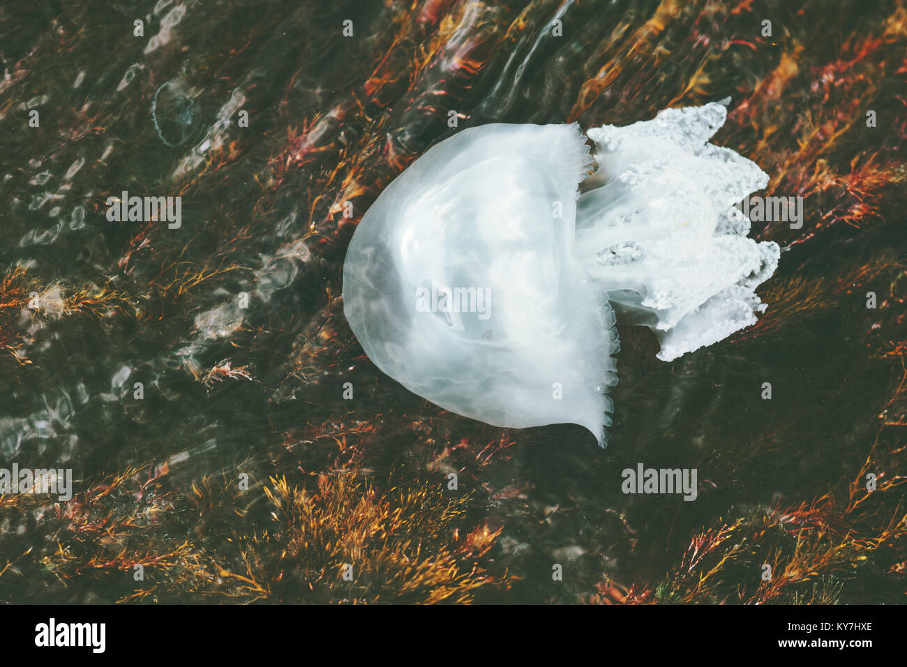 Sea Jellyfish underwater natural view harmony relaxing scenery Stock Photo