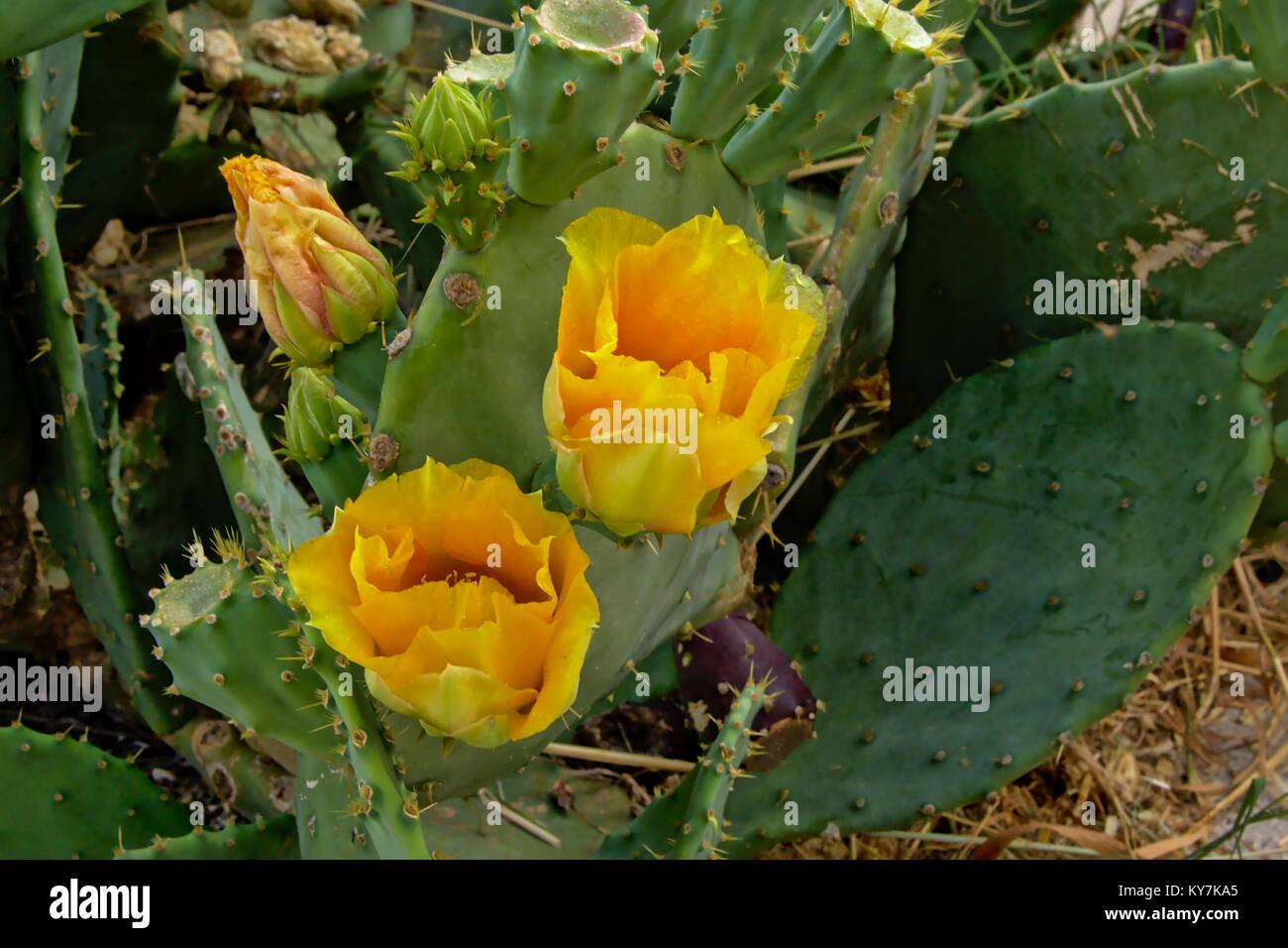 Yellow Flowering Cactus Stock Photos Yellow Flowering Cactus Stock