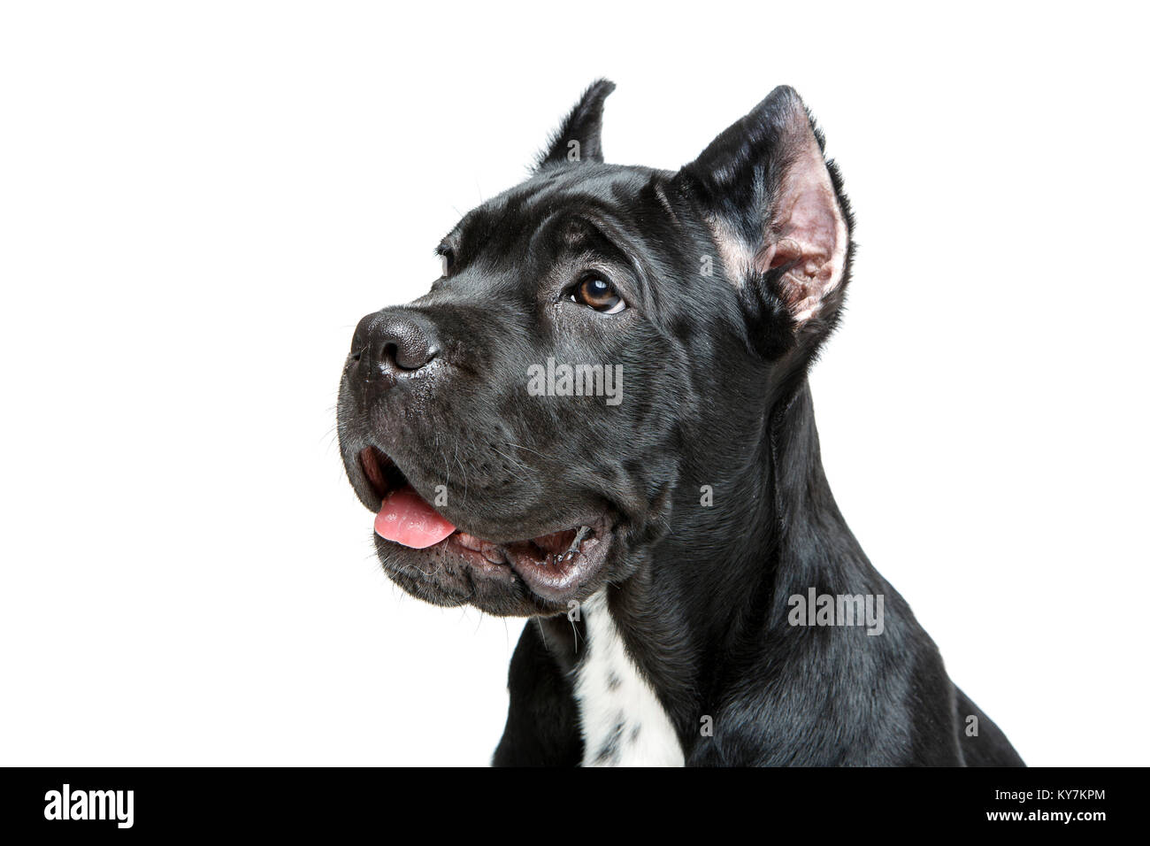 Beautiful Cane Corso Puppy Isolted On White Background Female Stock Photo Alamy