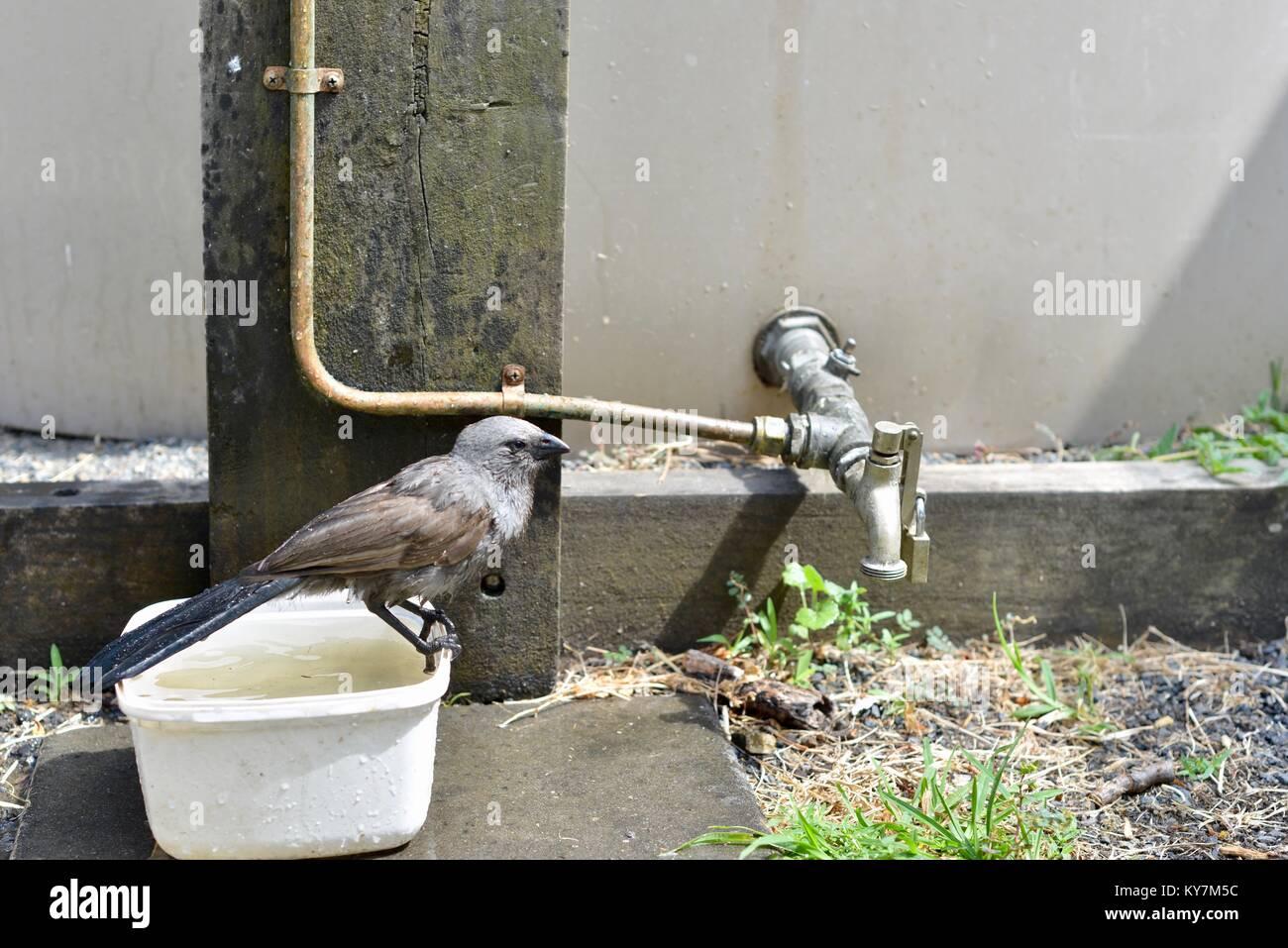 Apostlebirds (Struthidea cinerea) enjoying a bath and drink during a heatwave, Queensland, Australia - Stock Image