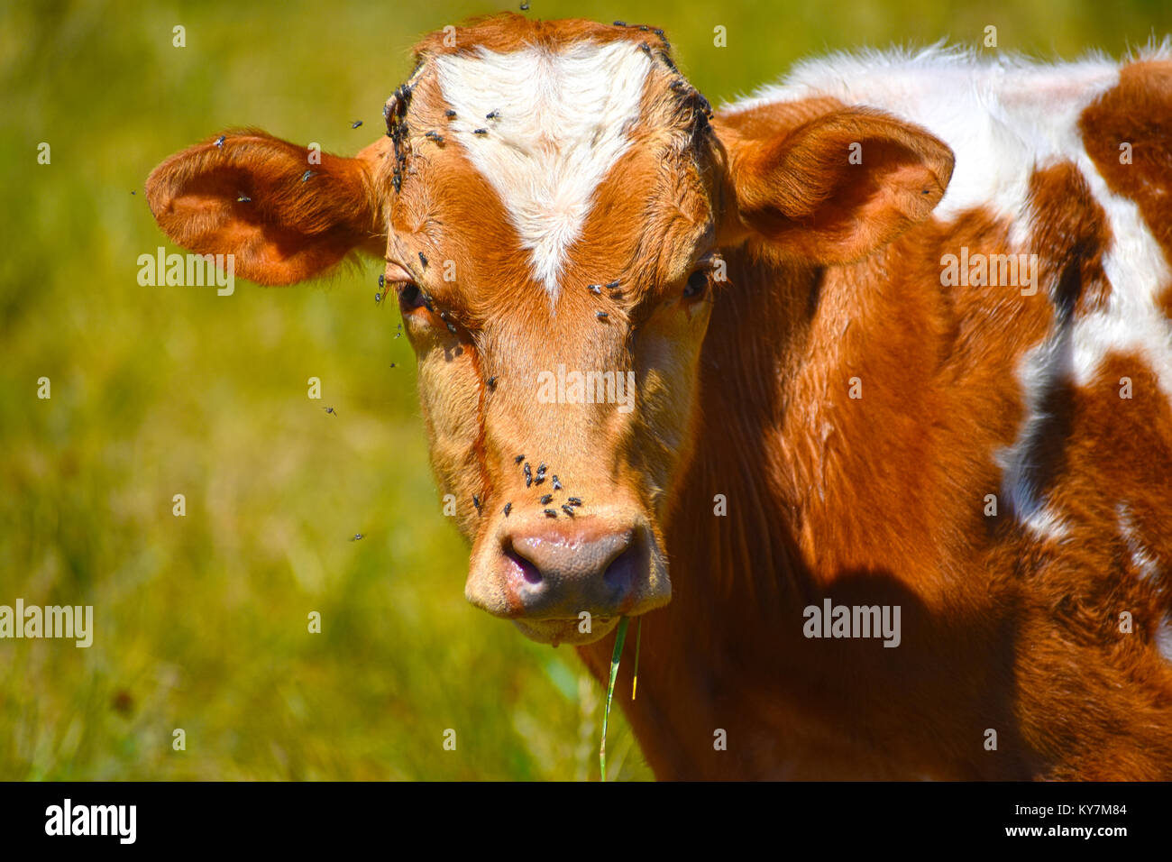 Flies all over the face of a brown and white cow.  The flies are even on the eye lashes.  Flies are feeding on her - Stock Image
