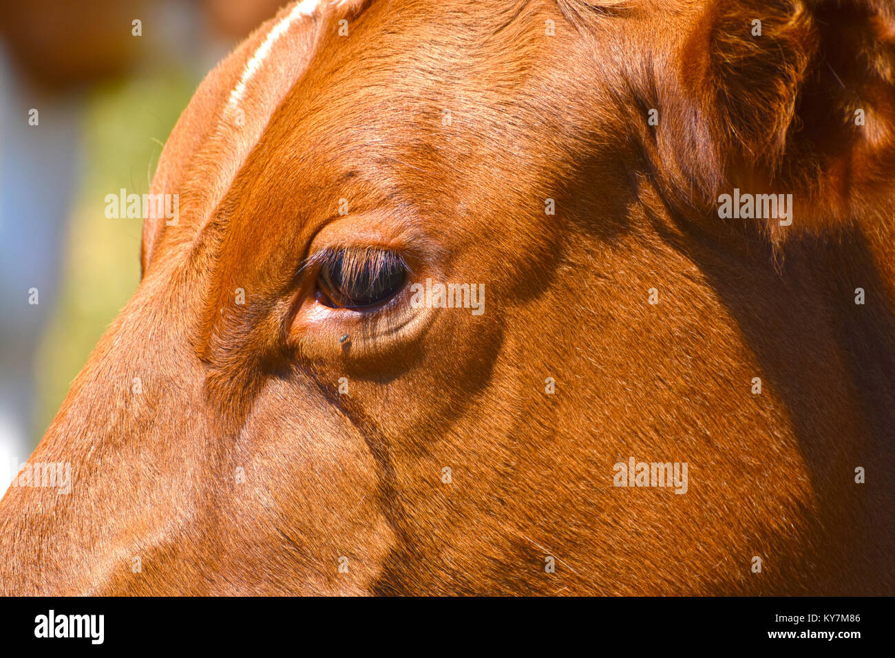 Cows eye close up with fluid that has run down from her watery eyes.  One fly has landed just below her eye. - Stock Image