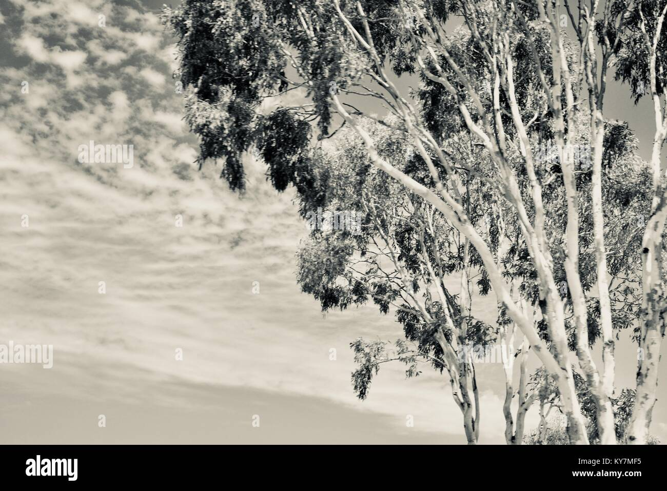 Gumtree with cloudy sky background, in silvertone, black and white, grayscale, Farmland and bush near Clairview, - Stock Image