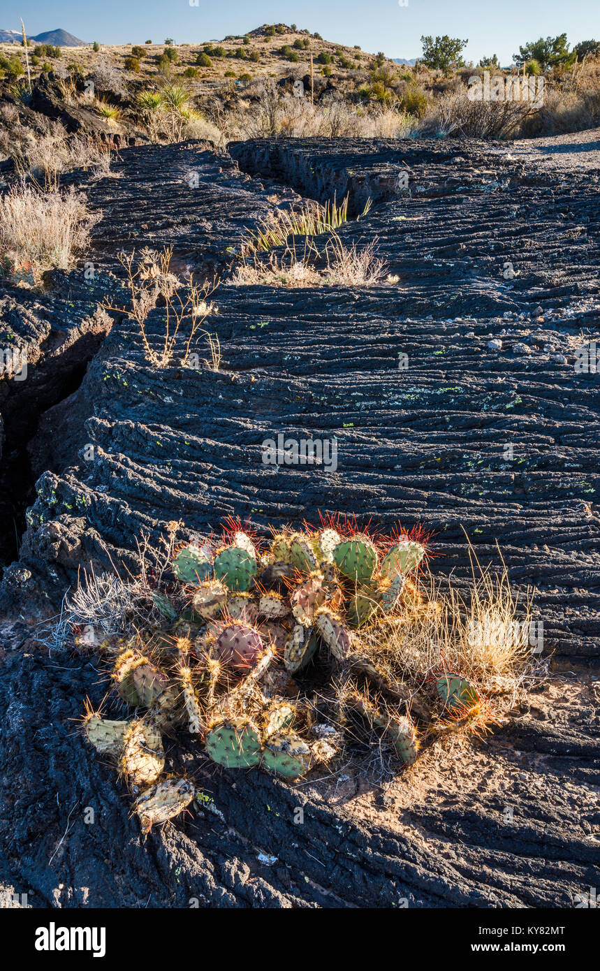 Prickly pear cactus at Pahoehoe lava field, Carrizozo Malpais lava flow at Valley of Fires Recreation Area, Tularosa - Stock Image