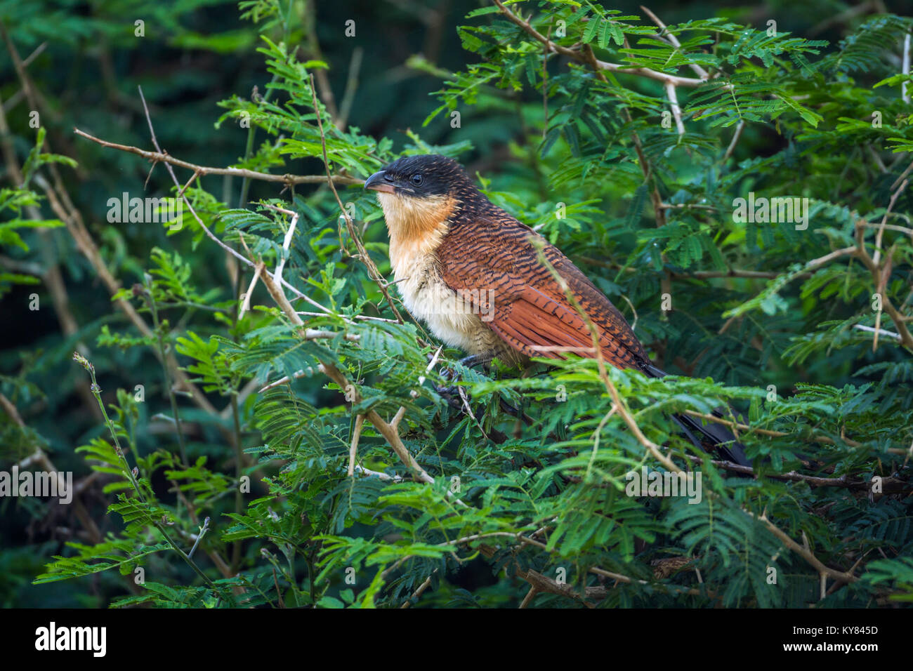 Burchell's coucal in Kruger national park, South Africa ; Specie Centropus burchellii family of Cuculidae - Stock Image