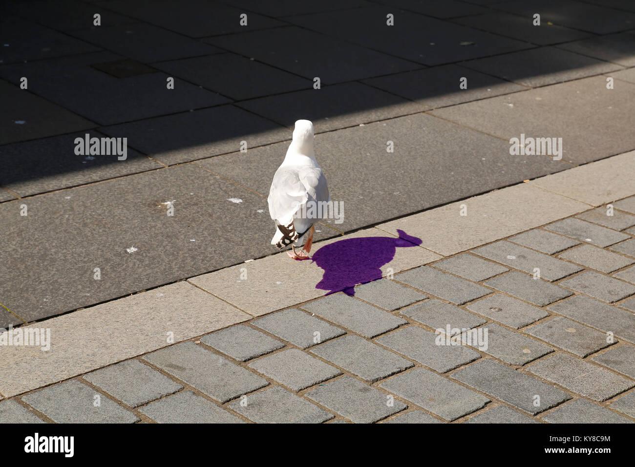 Möwe auf der Straße mit ultra violett farbenem Schatten auf dem Asphalt - Stock Image