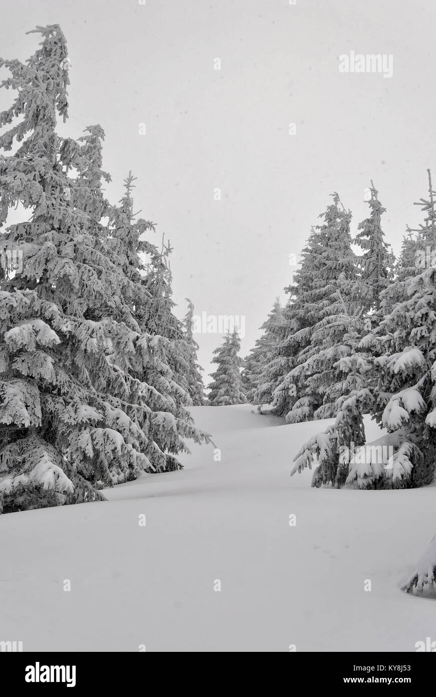 Spruces covered with snow with snowdrifts in between - Stock Image