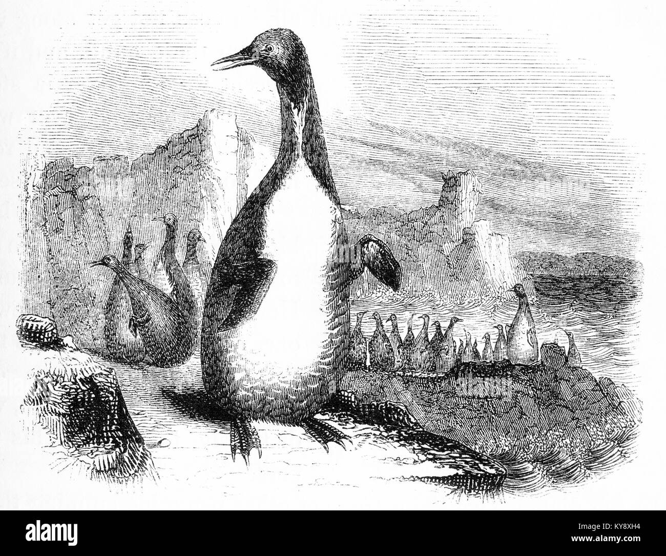 Engraving of an unidentified species of penguin at a time when the Antarctic was largely unexplored. From an original - Stock Image