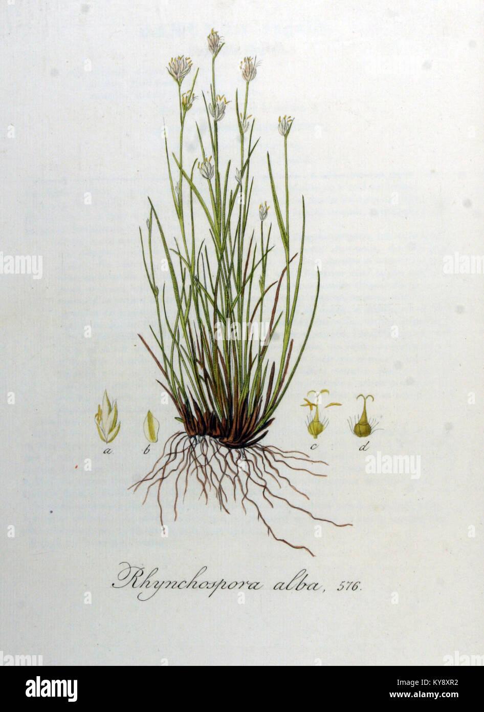 Rhynchospora alba — Flora Batava — Volume v8 Stock Photo