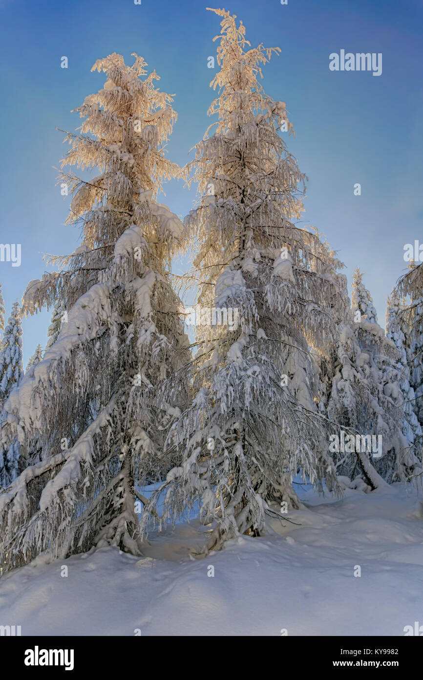 Illuminated by the sun snow-covered larches and spruce trees in the background of blue sky. Sunny winter day. Winter - Stock Image
