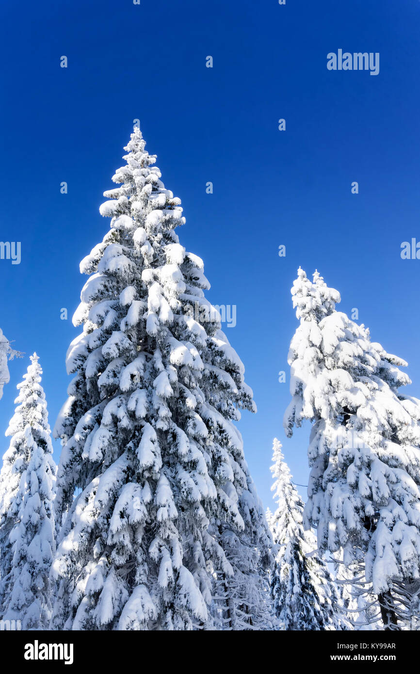 Snow-covered spruce trees with icicles and cones in the background of blue sky. Sunny winter day. Winter mountain - Stock Image
