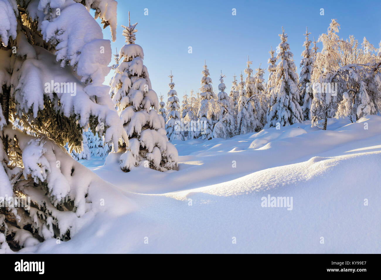 Illuminated by the sun snow-covered spruce trees and larches in the background of blue sky. Sunny winter day. Winter - Stock Image