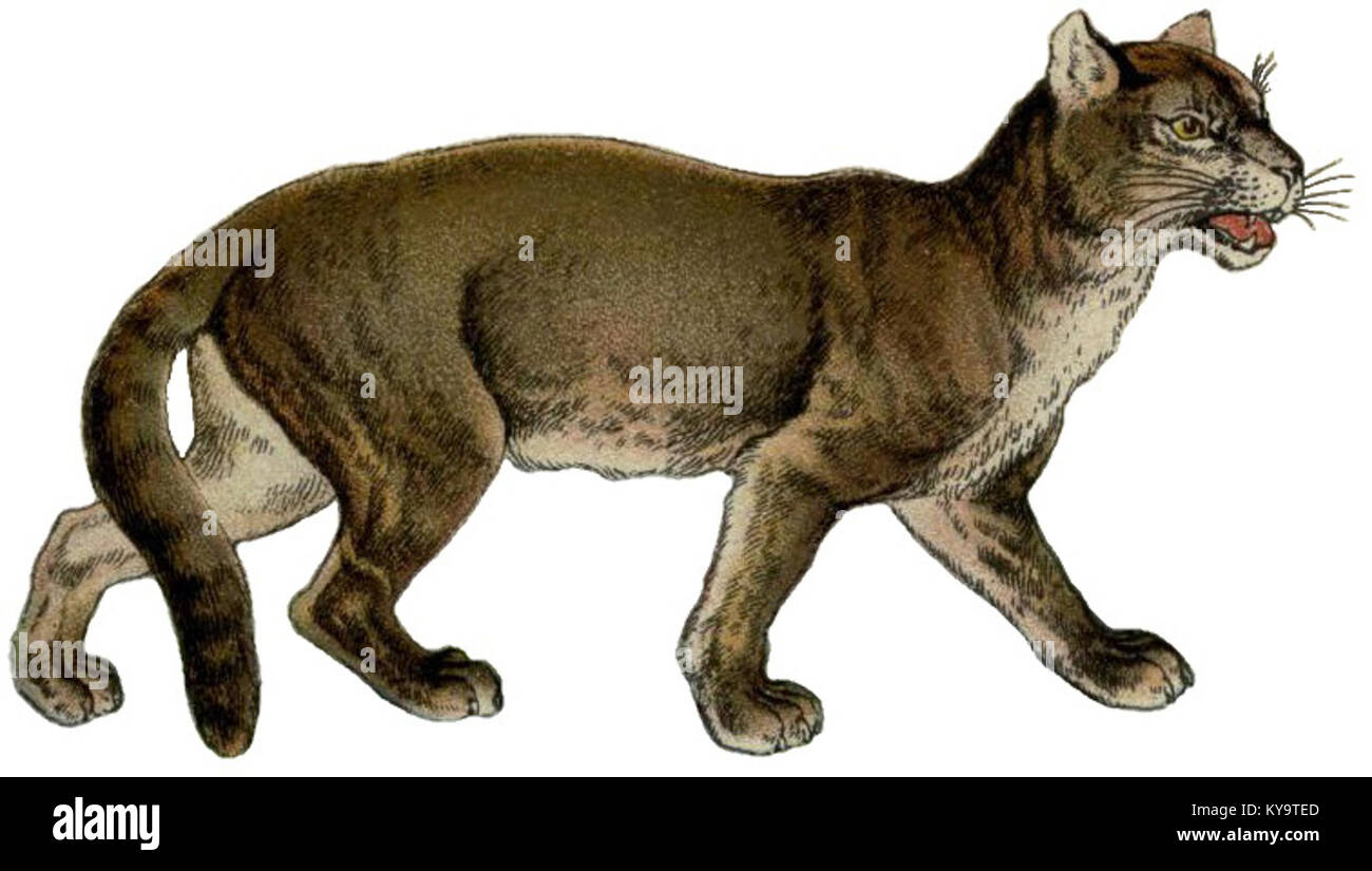 The handy natural history (Coloured Plate V) (Puma concolor) - Stock Image