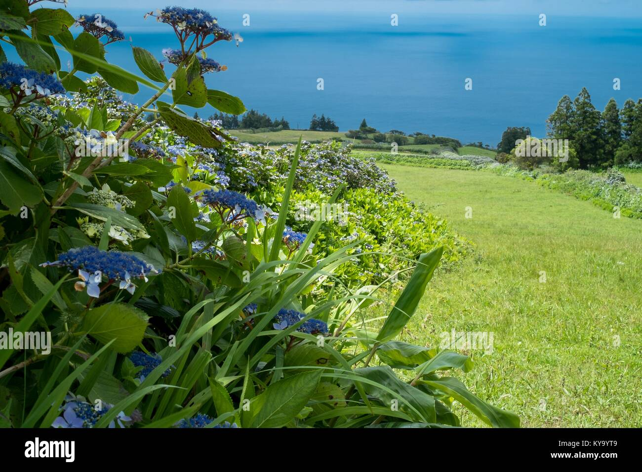 Hydrangea hedgerows on Faial island - Stock Image