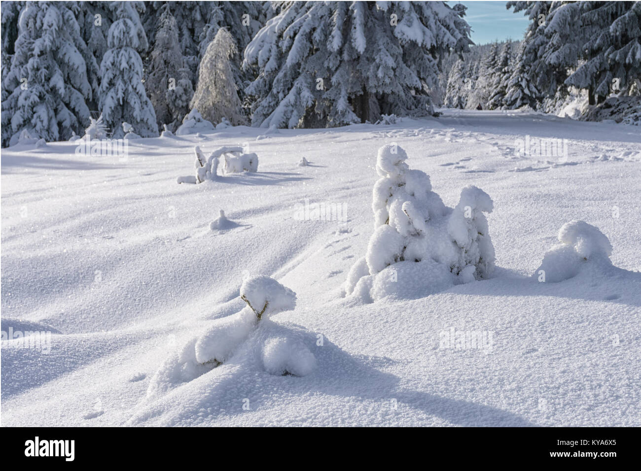 Small spruces covered with fresh snow in sunny day and animal tracks on the snow. Winter in mountain forest. - Stock Image