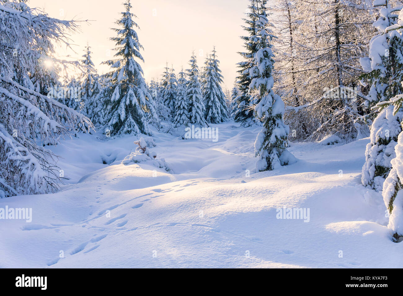 Winter landscape. Trees in mountains covered with hoarfrost in sunny day and animal tracks on the snow. Karkonosze, - Stock Image