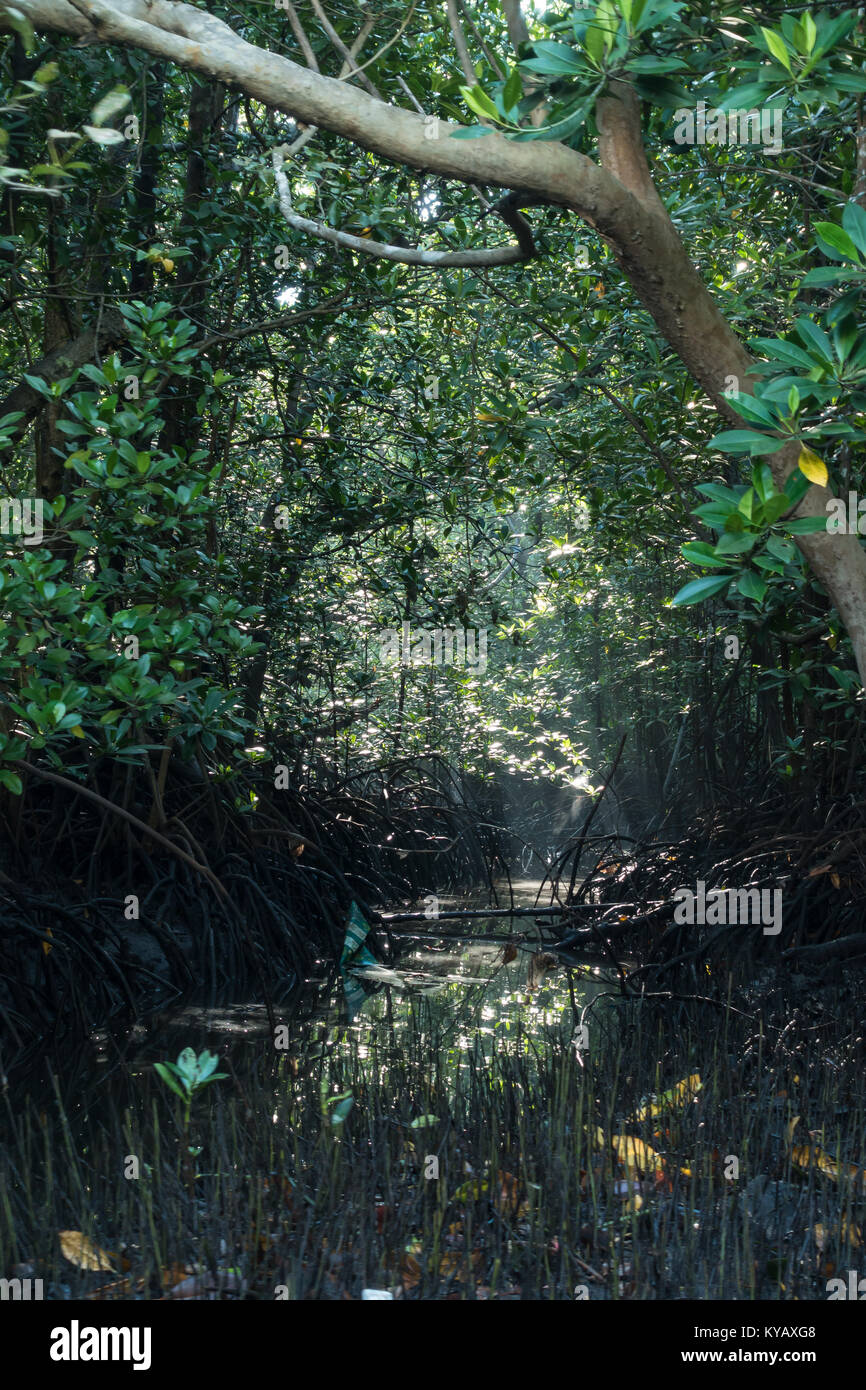 Early morning sun light filters through trees in mangroves near Tangkoko National Park, North Sulawesi, Indonesia. Stock Photo