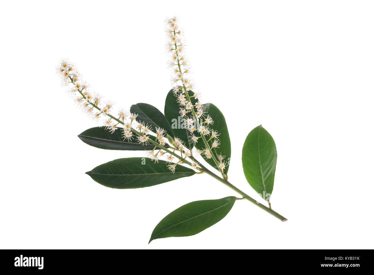 Prunus laurocerasus flowers isolated on white background Stock Photo