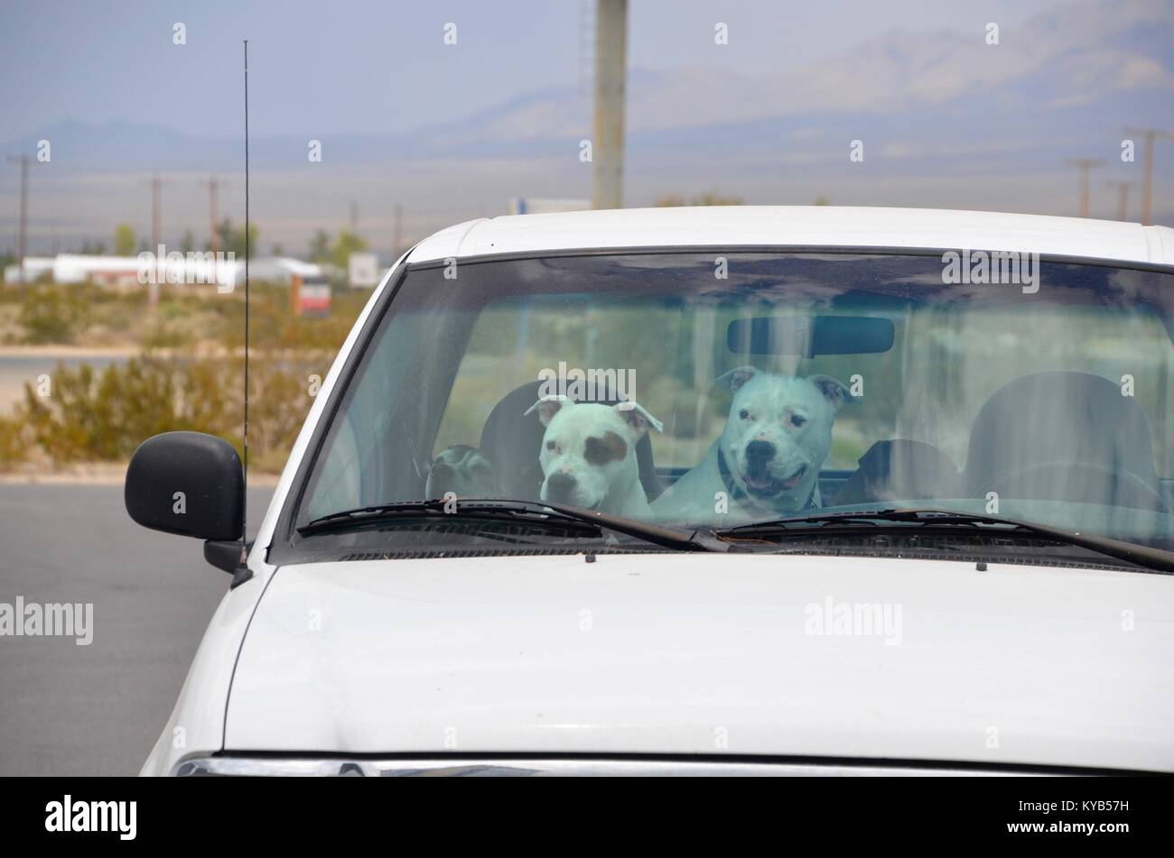 three bull terriers in the front seat of a white car nevada - Stock Image