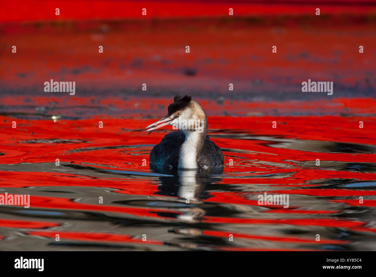 Great Crested Grebes (Podiceps cristatus) transitory plumage from winter to summer plumage - Stock Image
