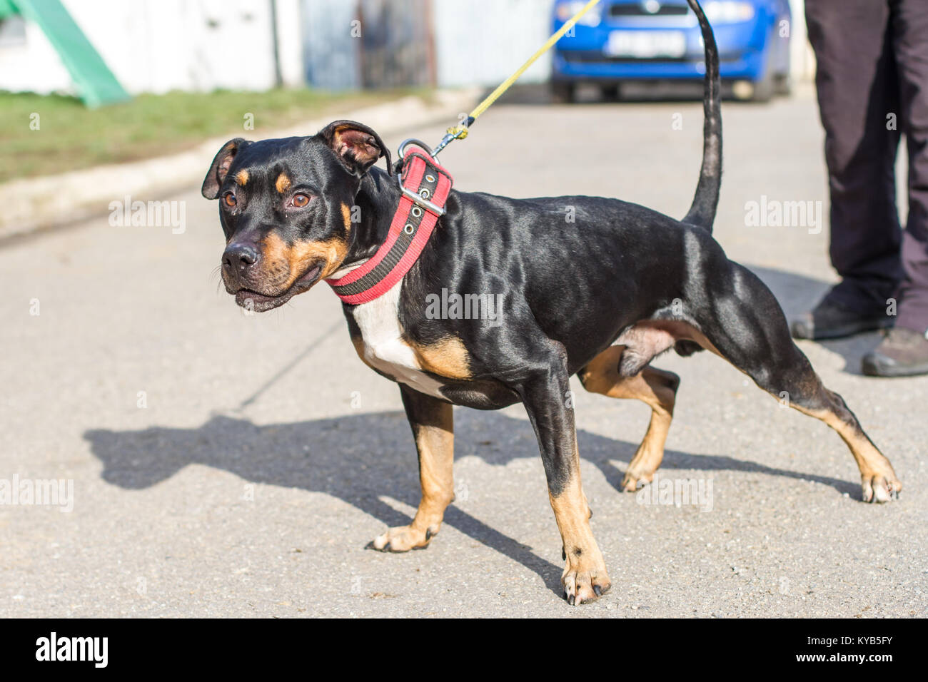 Black and tan colored friendly American Pit Bull Terrier pulling on the leash - Stock Image
