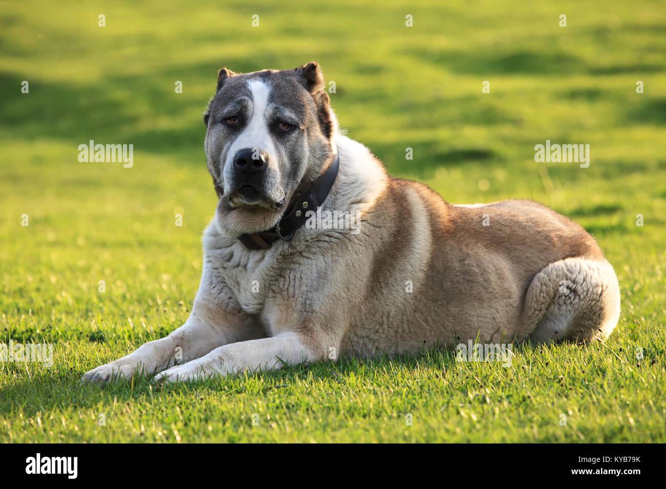 big alabai dog rest in green spring meadows Stock Photo