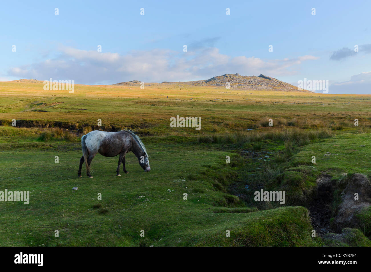 Pony on the slopes of Rough Tor on Bodmin Moor - Stock Image